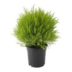 CUPRESSUS MACROCARPA Potplant IKEA Decoreer je huis met planten in combinatie met een sierpot die bij je stijl past.