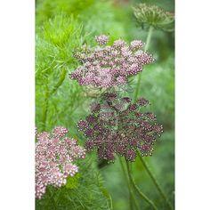 https://www.sarahraven.com/flowers/seeds/biennial_seeds/daucus_carota_purple_kisses_mix.htm