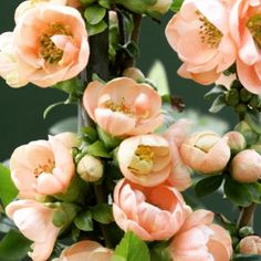 Gorgeous flowering quince tree  #becauseitstheweekend #flower #trees #pretty