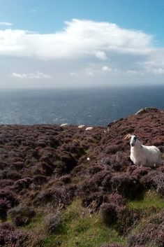 A sheep modeling for one of our guests o a beautiful day in Donegal.