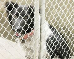 NEXT on DEATH ROW - Border Collie/Aussie Mix Female 2-3 Yrs  Kennel A28  Available 1-20-2014****$51 to adopt   LOCATED AT ODESSA TEXAS ANIMAL CONTROL. https://www.facebook.com/photo.php?fbid=714483331909241&set=a.652696841421224.1073741848.248355401855372&type=3&theater