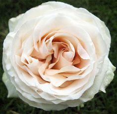 cream garden roses.