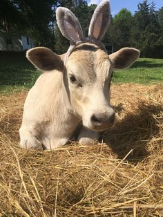 I am STRESSED OUT here's a pic of my cow with bunny ears