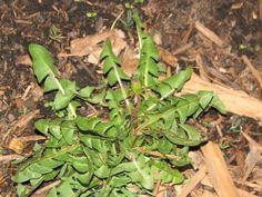 Dandelion (before bloom) Broadleaf_Weed817.jpg 800×600 pixels