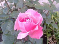 Rosa rosa.