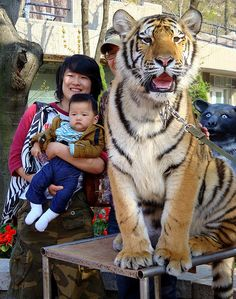 A tiger on a leash taking pictures with a baby: