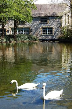 *Swans in Bakewell