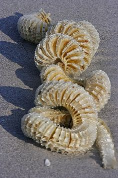 Whelk egg case - Florida Whelk is a common name that is applied to various kinds sea snail, many of which have historically been used, or are still used, by humans for food.