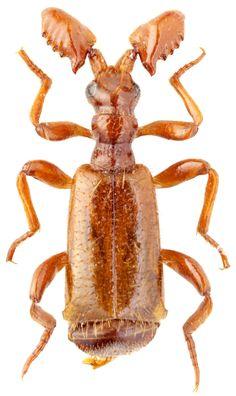 Paussus (Flagellopaussus) favieri Fairmaire, 1851