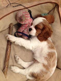 it's hard work being a Cavalier king charles spaniel pup Cavalier King Charles Blenheim, King Charles Spaniel, Cute Puppies, Cute Dogs, Cavalier King Spaniel, Baby Animals, Cute Animals, Spaniel Puppies, Mundo Animal