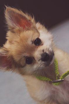 My pomchi Puppy snickers...pomeranian chihuahua