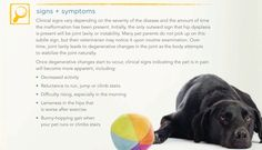 Signs and symptoms of hip dysplasia in pets Dog Bakery, Hip Dysplasia, Dog Nutrition, Pets 3, Dog Cookies, Dog Things, Pet Insurance, Homemade Dog Food, Gentle Giant