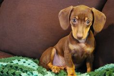 Chocolate and tan doxie