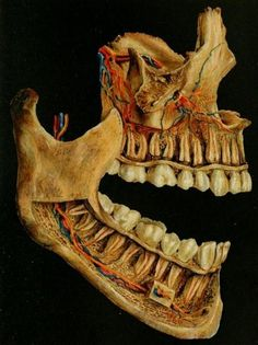 The nerves [yellow] and blood vessels [blue and red] within the spongy bone of the jaw. The buccal plates are partially removed to show the path of the vessels and nerves into the teeth. Dentaltown Message Board Dental Anatomy and Tooth Morphology http://www.dentaltown.com/MessageBoard/thread.aspx?s=2&f=154&t=234513&pg=1&r=3650350 #DentalAnatomy #OralSurgery #OralRadiology #Dentist #Dentistry #DentalStudents #Dentaltown #ToothMorphology