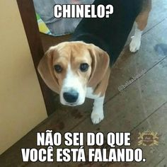 Are you interested in a Beagle? Well, the Beagle is one of the few popular dogs that will adapt much faster to any home. Art Beagle, Beagle Puppy, Funny Dogs, Funny Memes, Jokes, Pocket Beagle, Pet Shop, Humor, Creatures