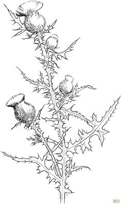 Thistle Drawing | Cirsium Vulgare or Bull Thistle Coloring Online