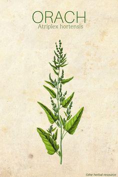 Orach Atriplex hortensis #HerbalMedicine