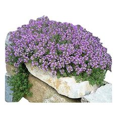 """Amazon.com : Spectacular Blue Moon Wisteria Tree Plant 8-11"""" Tall Potted Plant Fragrant Flowers Seeds BulbsPlants& MoreAttracks Hummingbirds, in Dormancy : Garden & Outdoor Tall Potted Plants, Fall Plants, Garden Plants, Plants For Chickens, Chickens Backyard, Thyme Flower, Thyme Plant, Chicken Garden, Chicken Coops"""