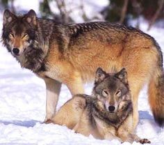 mongolian wolves - Google Search
