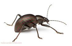 Friday Beetle Blogging: The Prettiest Darkling Beetle