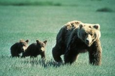 Victory As British Columbia Bans Trophy Hunting Of Grizzly Bears