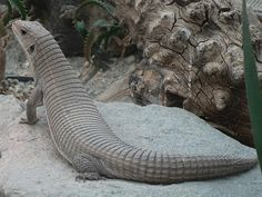 Plated Lizard (Gerrhosaurus major)