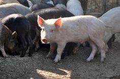 ..I nostri maiali...
