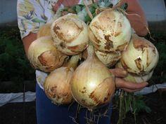 Babičkina rada, ako vypestovať väčšiu a bohatšiu úrodu cibule Garden Trees, Onion, Greenery, Home And Garden, Vegetables, Gardening, Money, Profile, House