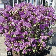 Small Evergreen Shrubs for Year-round Interest in Yards and Gardens Evergreen Trees For Privacy, Evergreen Flowering Shrubs, Evergreen Bush, Dwarf Plants, Bonsai Plants, Bonsai Garden, Small Space Gardening, Small Gardens, Purple Shrubs