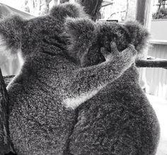 Too cute!! Koala love at Lone Pine