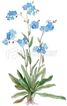 water color forget me not flower