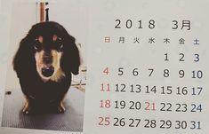 2018.3.5.. #ミット#愛犬#ミニチュアダックスフント#ミニチュアダックスフンド#犬#ダックスフンド#ダックス#ブラックタン#カレンダー#美容院  昨日 ミット🐶は  美容院✂💇✨へ🐾  お店から ステキな カレンダー📆  もらったよー (・ω・)ノ🌼🍀 おちかれー✨