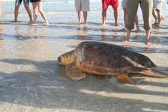 Ormond Beach Turtles. Largest population of sea turtes in the USA..