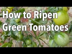 Doing some organic gardening is ideal and these tomatoes gardening tips are some of the best you will come across. Growing tomatoes in pots is ideal if you are suffering from limited garden space. Veg Garden, Tomato Garden, Vegetable Gardening, Allotment Gardening, Veggie Gardens, Garden Soil, Fall Vegetables, Growing Vegetables, Veggies