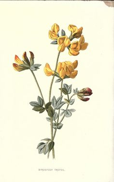 https://flic.kr/p/emNz8X | n121_w1150 | Familiar wild flowers figured and described. London,Cassell and company, limited,[1878-. biodiversitylibrary.org/page/17796565
