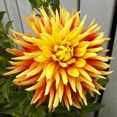 "Island Flare Dahlia (8-10"" bloom; 4' bush): semi-cactus; yellow/orange."
