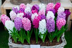 Hyacinth Bulbs are spring-flowering bulbs with long, narrow leaves are highly fragrant flowers that bloom in dense clusters. Flowers Garden, Cut Flowers, Pretty Flowers, Spring Flowers, Planting Flowers, Fruit Garden, Planting Seeds, Hyacinth Plant, Hyacinth Flowers