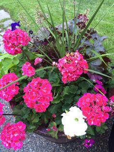 Geraniums, petunias, and heuchera blooming happily on my patio!