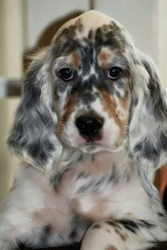 Pretty Animals, Cute Animals, Animal Fun, Cute Animal Pictures, Animals Photos, English Setter Puppies, Red And White Setter, Irish Setter, Hunting Dogs