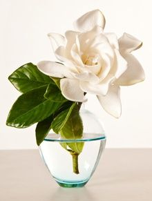 """Gardenia:  This flower has some deep floral meanings, it actually says """"You are lovely"""" and it is even a symbol of a secret love. This is a great gift for those of us that are true romantics, think Romeo and Juliet style. Make sure that you are giving this to someone that you really care about."""