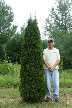 Thuja Quot Emerald Green Quot Arborvitae 30 Trees 4 Inch Pot