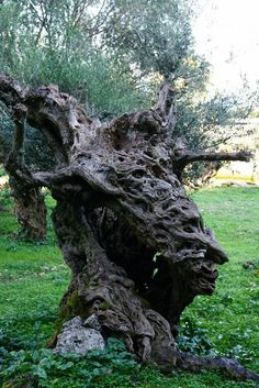 Poulata, Kefalonia, GREECE: an olive tree that looks like the head of an old woman  Η απίστευτη φωτογραφία από τα Πουλάτα της Κεφαλονιάς!!!