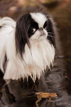 Japanese Chin / Japanese Spaniel ( I kissed the frog and nothing happened?) ~ Japanese Chin / Japanese Spaniel ( I kissed the frog and nothing happened?) ~ Japanese Chin dog art porJapanese chinjapanese chin – I must ha Japanese Chin Puppies, Japanese Dogs, Cute Dogs Breeds, Best Dog Breeds, Big Dogs, Dogs And Puppies, Doggies, Funny Puppies, Puppies Tips