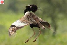 ☎️ https://www.facebook.com/WonderBirdSpecies/  Bengal florican/Bengal bustard (Houbaropsis bengalensis); Indian subcontinent, Cambodia and Vietnam ;  IUCN Red List of Threatened Species 3.1 : Critically Endangered (CR)(Loài cực kỳ nguy cấp)  Ô tác Bengal/Ô tác Nam Á; Tiểu lục địa Ấn Độ, Campuchia và Việt Nam; HỌ Ô TÁC - OTIDIDAE (Bustards, Floricans and Korhaans).