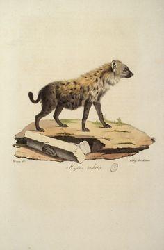 Hyene tachetee.jpg (503×768)