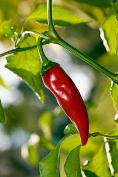 Spaanse peper of lombok Veg Garden, Vegetable Garden Design, Edible Garden, Balcony Plants, Outdoor Plants, Outdoor Gardens, Growing Herbs, Growing Vegetables, Fruits And Vegetables