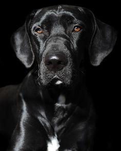 Black Dog by by dog ma - Jody Trappe Black Lab Names, Black Labs, Black Labrador, Dog Photos, Dog Pictures, I Love Dogs, Cute Dogs, Yorky, Old Dogs