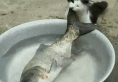 Cat trying to steal a fish…