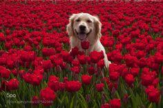 Golden tulip retriever by josiefoto http://ift.tt/1K9Ksz0