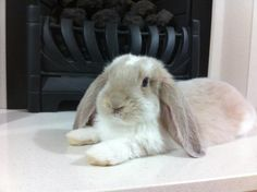 Giant French Lop Rabbits | FRENCH LOPS
